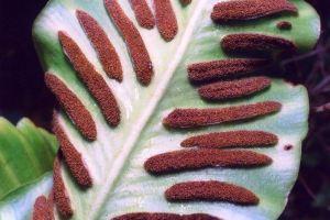 Hirschzungenfarn (Asplenium scolopendrium): Blattunterseite mit Sori / Wikimedia / Christian Fischer / CC BY-SA 3.0